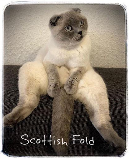 Scottish Fold im Buddha-Sitz, das ist nicht witzig, die Katze nimmt diese für Katzen nicht arttypische Haltung ein, weil sie in dieser Position weniger Schmerzen hat. Foto © Laura