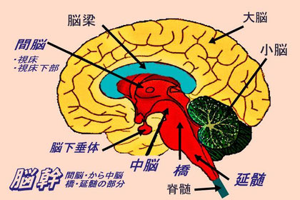 脳幹=赤い部分