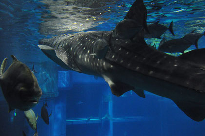 A 5-meter (16 ft) whale shark at Osaka Aquarium