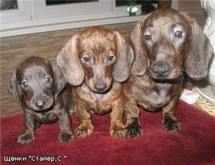 Три щенка тигрового оераса разной насыщенности