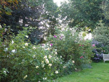 """Dans la """"Roseraie des Obtenteurs"""", du côté des rosiers de David Austin..."""