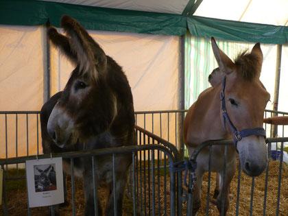 3. Juli 2010: Wir waren mit dem Muli Charlotte und dem Riesenesel René auf der Foire agricole in Ettelbruck