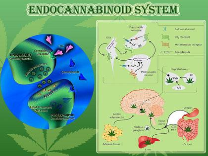 Het endocannabinoïden systeem