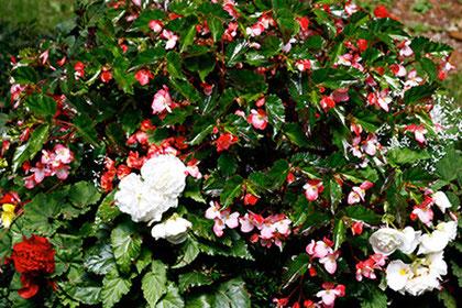 Weiße und rote Nelken