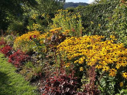 Sonnenhut 'Goldsturm' in voller Blüte