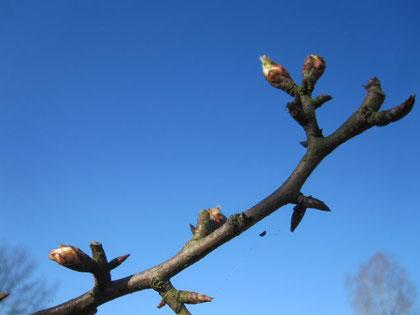 Knospen am Apfelbaum (oder war's der Birnbaum?)