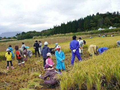 子どもたちと一緒に、6月に田植えした場所の稲刈りをしました!