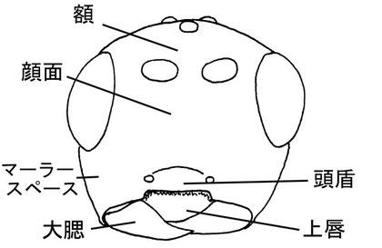 頭部(前面) Neurocrassus hakonensis (Ashmead,1906) (オナガコマユバチ亜科)