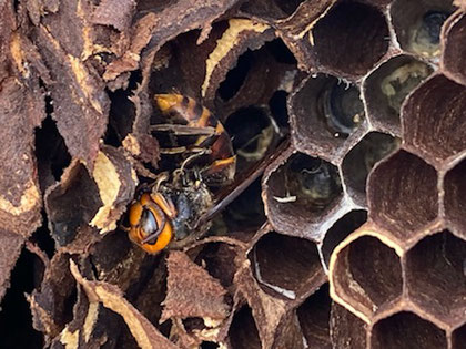 冬眠してた女王蜂