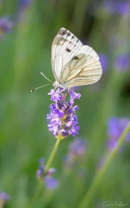 Kohlweissling auf Lavendelblüte