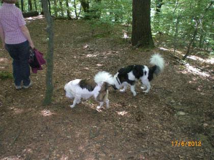 Bouncer und Colin stöbern im Wald bei Wermelskirchen