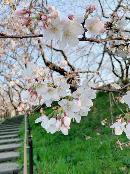 暖かな気温と共に嬉しそうに咲く桜たち