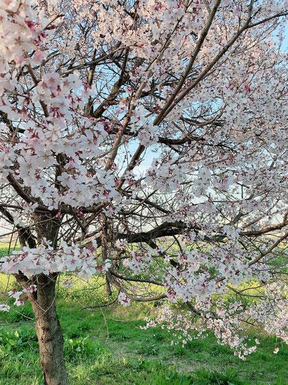 幸手の権現堂の桜