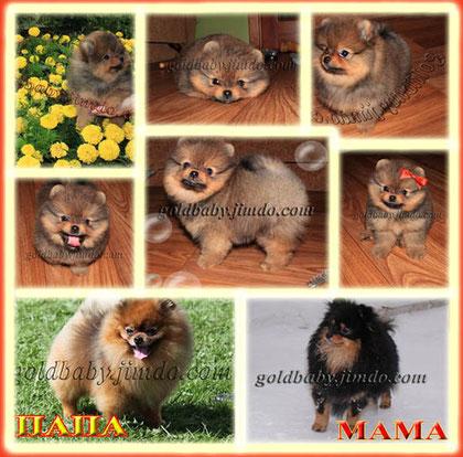 щенок померанского шпица от Aljens Sony Alpha (Соника) и Буси Голд Беби