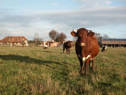 Les vaches dans les prés autour de la ferme