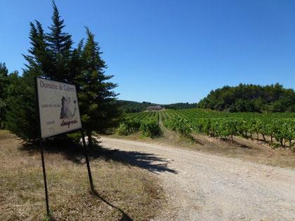 Au mois d'août les vignes de la Cabrery souffrent de la chaleur...