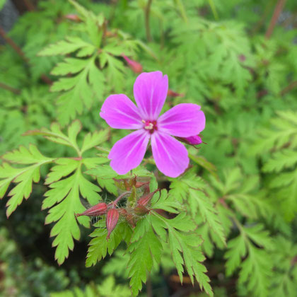 5弁のピンクの花。ヒメフウロ。