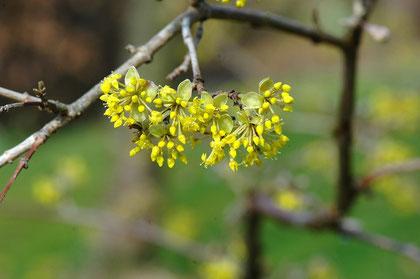 Blüte der Kornelkirsche im Februar / März