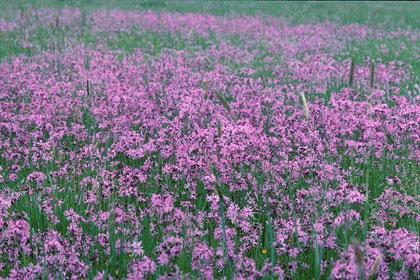 selten gewordener Anblick: Kuckuckslichtnelken auf Feuchtwiese
