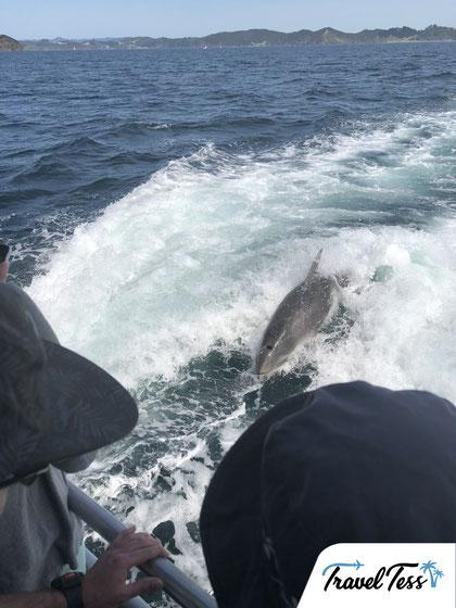 Dolfijnen Bay of Islands