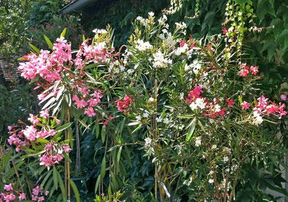 OLEANDER HAUS, Oleander Garten,  Nerium Oleander