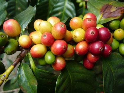 Kaffee Quetzal