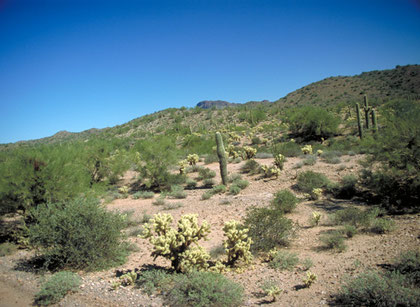 Saguaro (far) and Cholla Cactus (front) in Flagstaff, Arizona. Photo by S. Fujikawa.