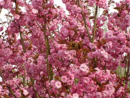 Cerisier du Japon en fleur, source 2