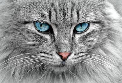 tete-de-chat-noir-et-blanc-aux yeux-bleus
