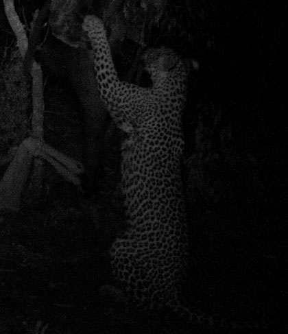 leopardo 1 a Ingwe Machan road