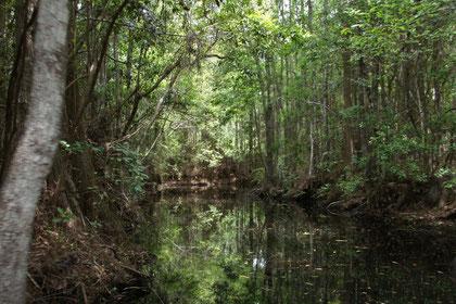 OkefenokeeSwamp im Süden von Georgia