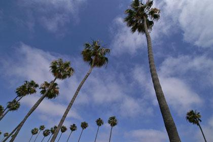beeindrucken hohe Palmen schwanken im Wind ...