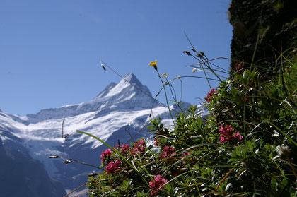Schreckhorn bei Grindelwald