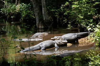 SilverSprings - Alligator's machen einen Mittagsschlaf