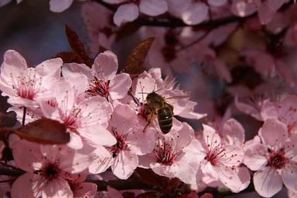 Biene an der Blüte des japanischen Kirschbaumes