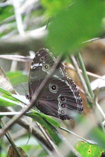 ein Schmetterling im Urwald