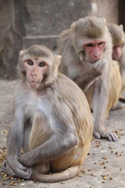 die Affen werden dort gefüttert, da man sich Glück von ihnen verspricht