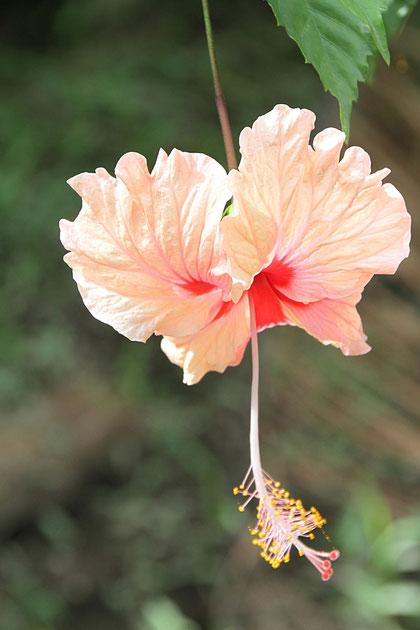 Blüte in Venezuela