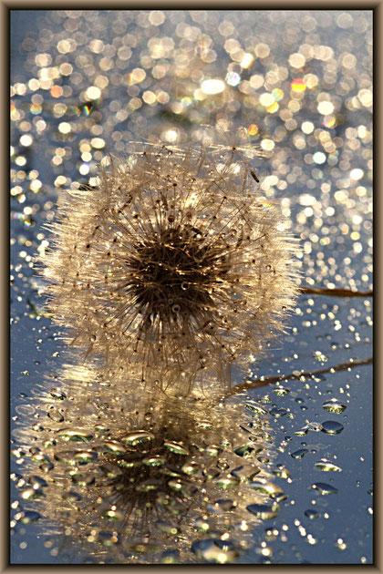 Pusteblumen auf einem Spiegel