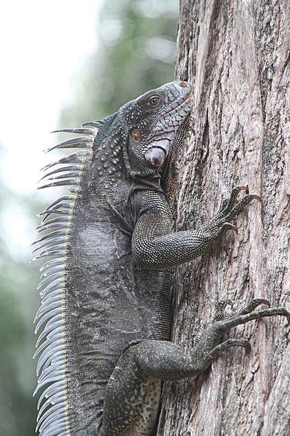 Leguan an einem Baumstamm