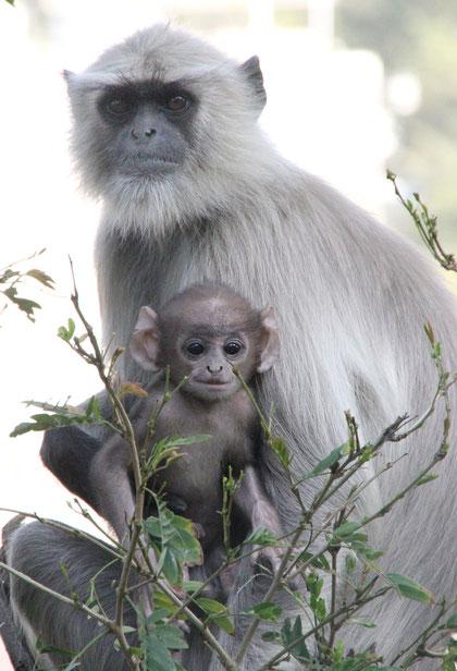 Affen in Udaipur