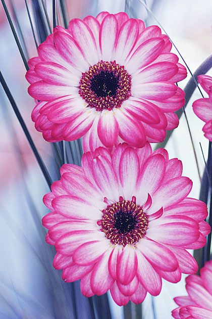 Gerbera aus Holland
