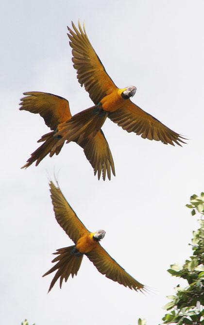 Papageien als Doppeldecker
