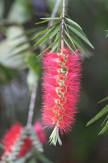 unbekannte Blume in Südamerika