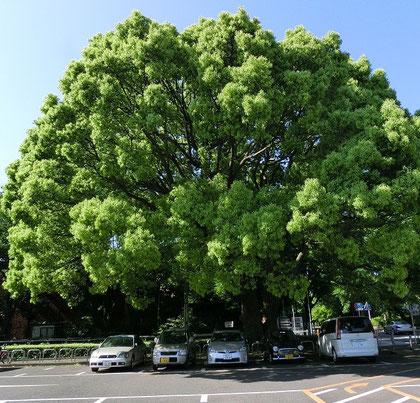 神代植物公園駐車場の楠(2012年5月)