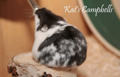 Black mottled Campbell