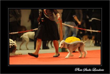 Olga  Ring d'honneur - CACIB Metz 2010.