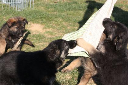 Chiots de la portée de Blackos de Kantphania et Fury du Courriou (qui était en co-propriété) : en plein mordant, c'est North'n Explorer's H'ibliss, la chienne appartenant à Mme Pascale D.