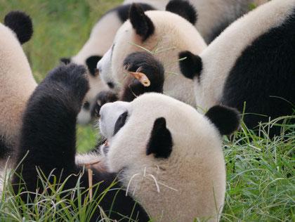 Chengdu Panda Conservation Park