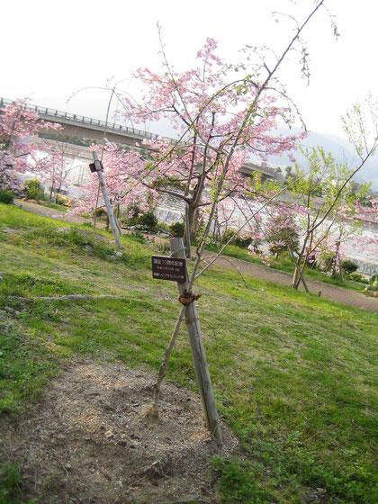 10周年記念植樹 しだれ桜 芦屋陽光緑地